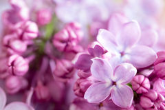 Detail of violet lilac flowers on a branch stock photos