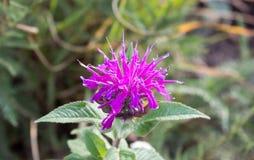 Detail of violet monarda didyma royalty free stock photography