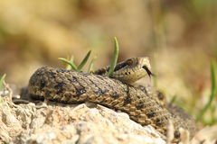 Detail of vipera ursinii rakosiensis in situ Royalty Free Stock Photo