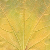 Detail of Virginia creeper leaf Stock Photos