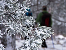 Detail vom conferious Baum bedeckt mit Schnee im Winter am Berg Kozomor Lizenzfreie Stockfotos
