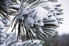 Detail vom conferious Baum bedeckt mit Schnee im Winter am Berg Kozomor Lizenzfreie Stockbilder