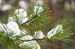 Detail vom conferious Baum bedeckt mit Schnee im Winter am Berg Kozomor Stockfotos