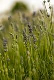 Detail vom Lavendelfeld Stockbild