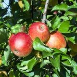 Detail von Apfelbaum mit roten Äpfeln Lizenzfreies Stockfoto