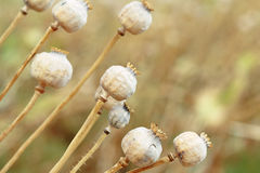 Detail von Baum poppyheads auf dem Feld Stockbilder