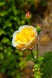 Detail von blühenden Rosen Lizenzfreies Stockfoto