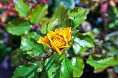 Detail von blühenden Rosen Stockfoto