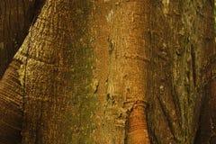 Detail von Ceiba, tropischer Baum, Hintergrund Lizenzfreies Stockfoto