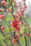 Detail von Chaenomeles japonica Busch Stockfotografie