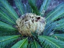 Detail von Cycas Revoluta lizenzfreie stockfotografie