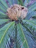Detail von Cycas Revoluta lizenzfreie stockbilder