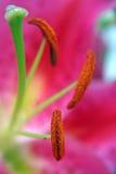 Detail von exotischem lilly Stockfoto
