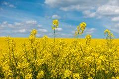 Detail von gelben Rapssamenblumen und von blauem Himmel mit weißen Wolken Stockfotografie