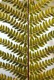 Detail von grünen Farnen als Hintergrund Lizenzfreie Stockfotografie