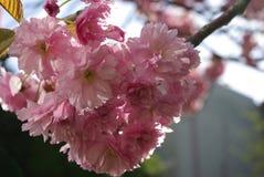 Detail von Kirschblüten Stockbild