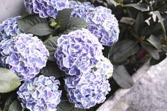 Detail von ortensia Blumen Stockfoto