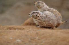 Detail von Paare groundhog auf dem Sand im Zoogarten Lizenzfreies Stockfoto