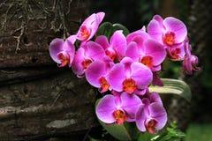 Detail von purpurroten Mond-Orchideen mit undeutlichem Brown-Hintergrund stockfotografie