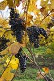 Detail von purpurroten Trauben in der Weinkellerei, Herbst Lizenzfreies Stockfoto