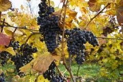 Detail von purpurroten Trauben im Weinyard, Herbst Stockbild