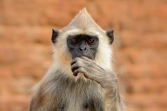 Detail von Sri Lanka-Affen Hulman, Semnopithecus-entellus, Detailporträt des Affen, Naturlebensraum, Sri Lanka Nahaufnahme Stockfotos