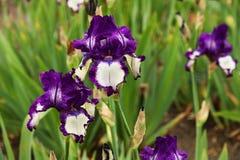 Detail von zwei Iris Lizenzfreie Stockfotografie
