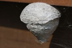 Detail of a wasp`s nest. Detail of a wasp`s nest under construction stock photos