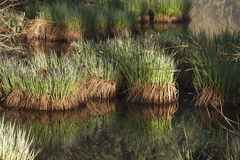 Detail of water grass at See d'Urbés, Vosges, France Royalty Free Stock Photo