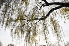 The detail of a weeping willow tree, Salix babylonica. With branches and leaves in fall royalty free stock image