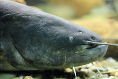 Wels catfish. The detail of wels catfish stock photos