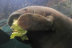 West indian manatee Stock Photography