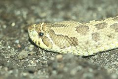 Western hognose snake. The detail of western hognose snake stock images