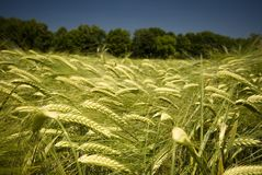 Detail of wheat field Royalty Free Stock Photo
