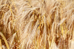 Detail of wheat field Stock Photos