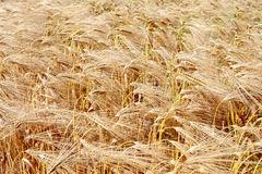 Detail of wheat field Royalty Free Stock Photography