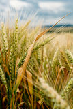 Detail of Wheat Field. Before the Harvest Royalty Free Stock Photo