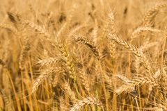 Detail of wheat field ready to be harvested Stock Photos