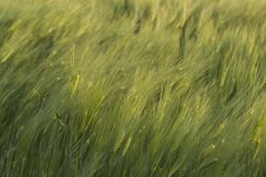 Detail of land planted with wheat Stock Photography