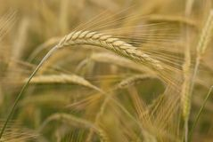 Detail of wheat's ears. Royalty Free Stock Photos