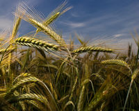 Detail of wheat's ears. Royalty Free Stock Images