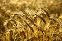 Detail of wheat spikes before harvest. Early morning Stock Photography
