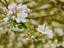 Detail of white apple blossoms on a stem. Close-up of white apple Malus pumila blossoms, pink buds and green leaves on a stem in late spring. Also known as Malus Stock Image