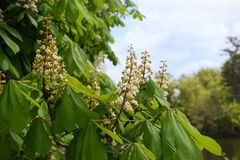 Blooming chestnut tree Royalty Free Stock Photo