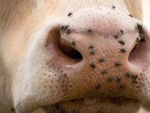 Detail of white cow muzzle. Annoying flies sit or run on the cow skin. White cow grazing i Stock Image