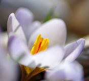 Detail of white Crocus flower II, Slovakia Royalty Free Stock Images