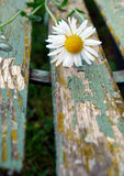 Detail of white daisy Stock Photography