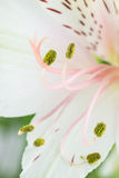 Detail of a white day lily flower Royalty Free Stock Images