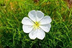 Detail of white desert wildflower Stock Images