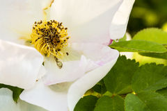 Detail of a white dog rose (Rosa canina) Stock Photo